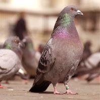 Pigeon-control-problem